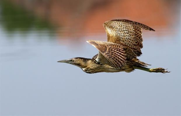 Bittern in flight (photograph: Danilo Djekovic/123RF)