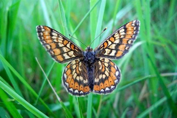 Marsh fritillary butterfly (photograph: Stephen Tolley/123RF)
