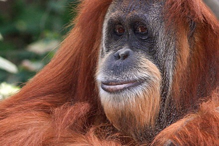 """Palm oil has """"a devastating impact"""" on species including tigers, elephants, rhinos and orangutans.(photograph: University of East Anglia)"""