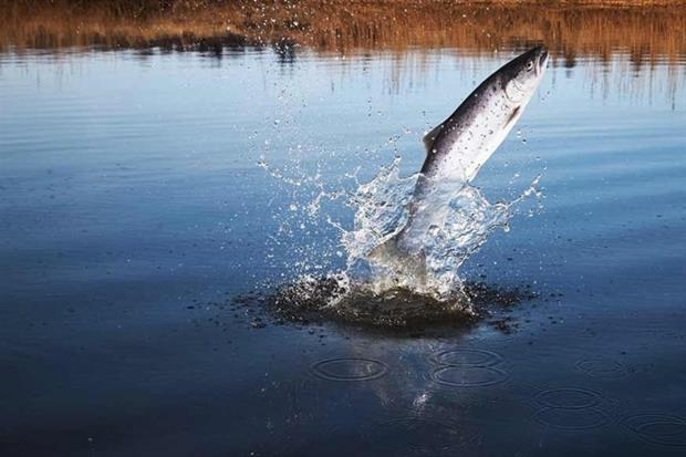 Concerns about effects of hydro schemes on salmon linger (Photograph: Witold Krasowski/123rf)
