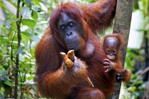 Palm oil plantations have caused harm to many species, including orangutans (photograph: Kjersti Jorgensen/123RF)