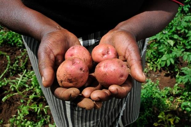 Kenyan potatoes grown for the European market (photograph: CIAT – 2DU Kenya66)