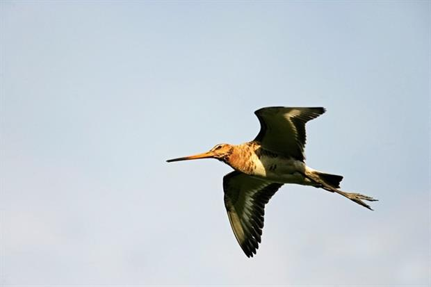 Black-tailed godwits are under pressure (photograph: Michael Lane/123RF)