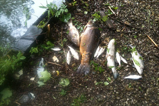 Firewater killed hundreds of fish at Grove Lodge fishery (photograph: Todmorden Angling Society)