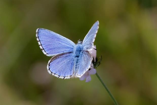 The adonis blue butterfly has the potential to expand its range to adapt to climate change (photograph: Paul Farnfield/123RF)