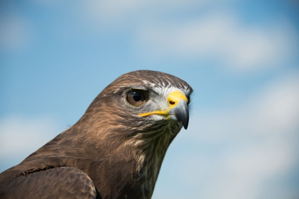 No licence has ever been issued in England to kill buzzards. Photograph: Andrew Oxley/123RF