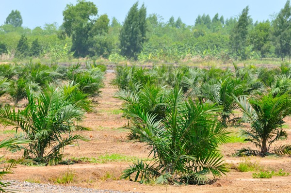 The proportion of UK sustainable palm oil imports is steadily increasing. Photograph: Panda3800/123RF