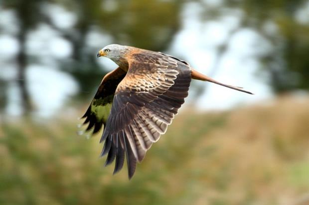 The possibility of harm to protected red kites led to Amber Rudd rejecting a 27-turbine onshore wind farm. Photograph: Tim Felce CC BY-SA 2.0