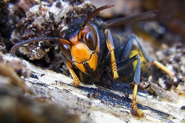 An alert system is in place to report sightings of the Asian hornet in the UK
