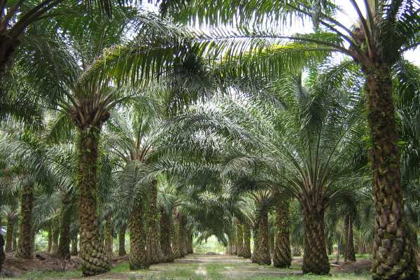 A palm oil plantation in Malaysia. Photograph: Craig