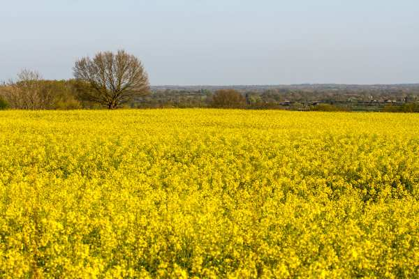 Controversy is swirling over the need to use neonicotinoid pesticides to protect oil seed rape. Photograph: Michael Palmer CC BY-SA 4.0