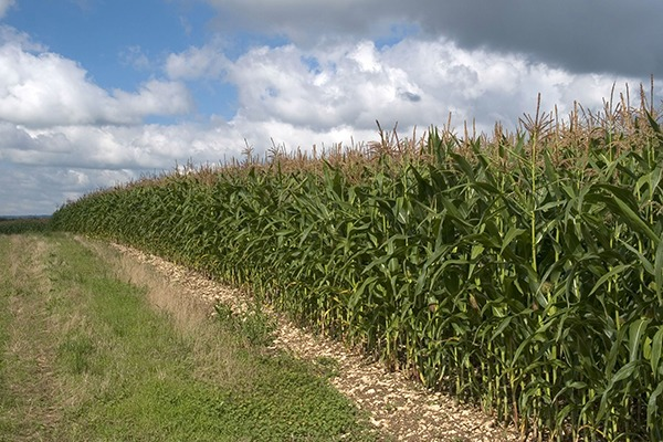 Maize can significantly damage soil health if poorly managed. Photograph: Matthew Collingwood/123RF