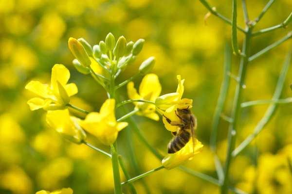 A honeybee feeding from oil seed rape flowers. Photograph: Kostic Dusan (Follow)