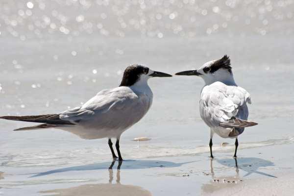 Sandwich terns would benefits from the SPAs. Photograph: Tim Heusinger Von Waldegge /123RF