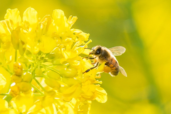 bee on flower neonicotinoids