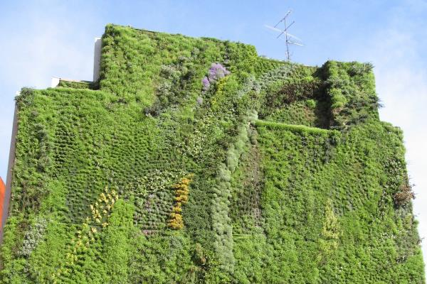 Green walls can improve the quality of urban life in many ways. Photograph: Cillas GFDL