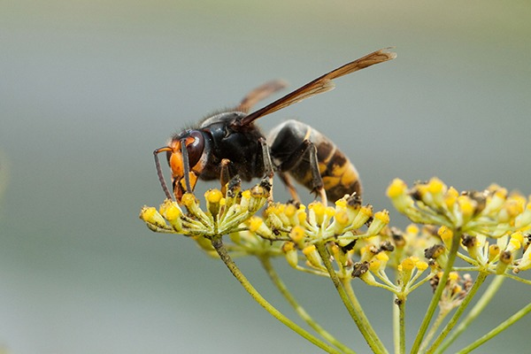 The Asian hornet preys on native bees. Photograph: Manuel Novo/123RF