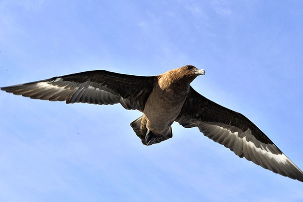 Birds like the great skua will be better protected under the plans. Photograph: Sergei Uriadnikov/123RF