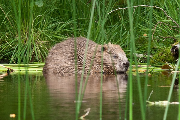 Beavers were hunted to extinction in Scotland 400 years ago. Photograph: Steve-Gardner/123RF