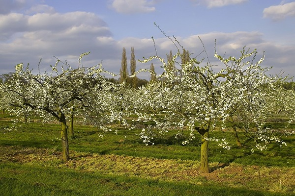 Glyphosate is often used to control the growth of grasses in orchards. Photograph: David Martyn Hughes/123RF