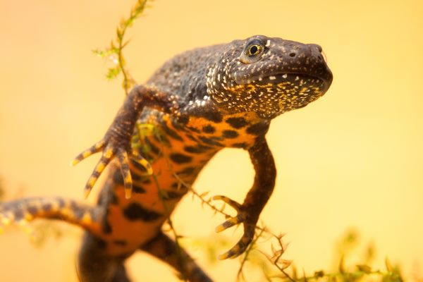 Bigger, more joined-up habitat for great crested newts is the goal. Photograph: Dirk Ercken / 123RF