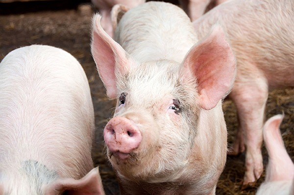 Operators of intensive pig farms will have to abide by tougher ammonia, nitrogen and phosphorous emission limits. Photograph: Jane White/123RF