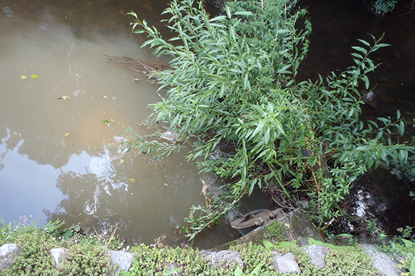 Sewage leaked into Dawlish Water, a stream that runs through the centre of Dawlish town. Photograph: Environment Agency