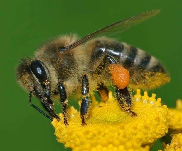 Neonicotinoid seed treatments have been linked to bee death. Photograph: Andreas Trepte CC BY-SA 2.5