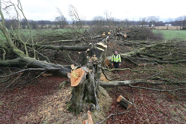 Veteran hedgerow beech trees chopped down. Photograph: Natural Resources Wales