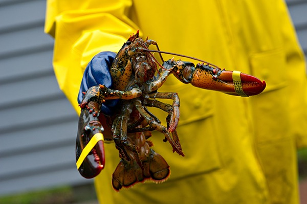 The American lobster is native to the east coast of North America. Photograph: Mark Skalny/123RF
