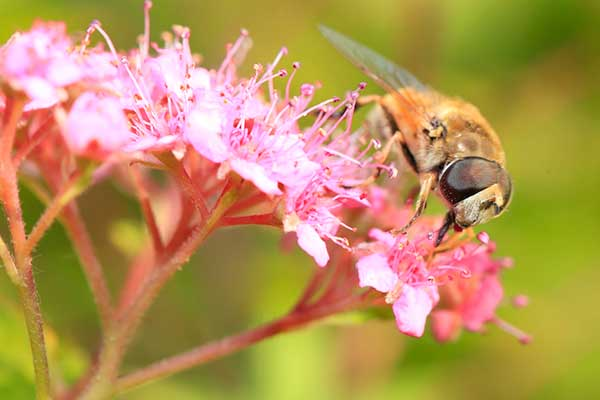 Bees and hoverflies are in decline. Photograph: WangAizhong/123RF