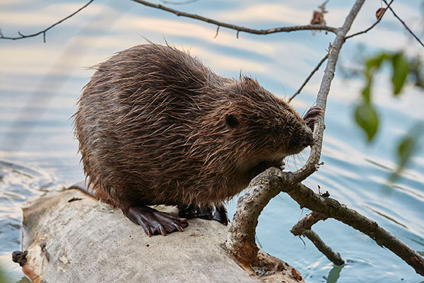 Beavers are slowly making their way back. Photograph: Martin Steiner/123RF