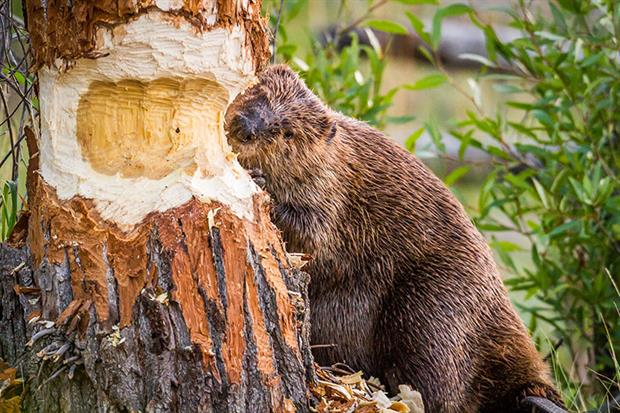 Beavers are set to be reintroduced in the UK. Photograph: Troy Harrison/Getty Images