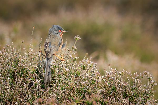 Dartford warbler bird