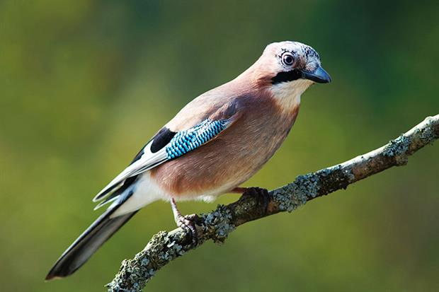 From now on it will only be legal to control jays under the general licence in order to protect other wild birds. Photograph: Luc Viatour/Wikimedia Commons
