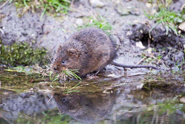 A water vole in Norfolk: A range of species could be considered within the Environment Bill's targets. Photograph: Education Images/Getty Images