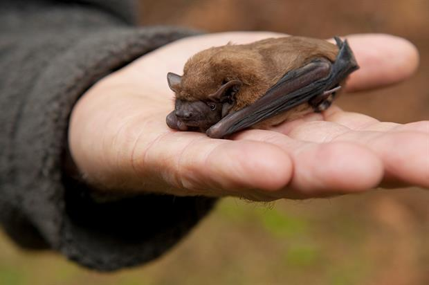 Natural England's district licensing scheme is likely to be rolled out to apply to bats. Photograph: Mike Powles/Getty Images