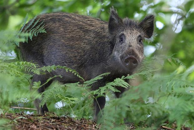 A wild boar in the Forest of Dean. Photograph: Sandra Standbridge/Getty Images