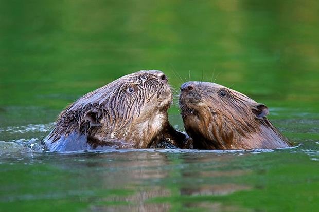 Beavers sparring in a river. The aquatic mammal is fiercely territorial. Photograph: Arterra/Universal Images Group via Getty Images