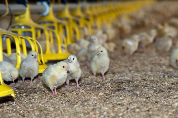 Broilers are raised from chicks to slaughter-weight in about six weeks. Photograph: Farm Images/Getty Images