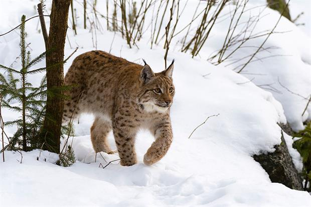 A second application to bring the lynx back to Britain is expected in December. Photograph: Delta Images/Getty Images
