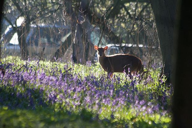 Invasive muntjac deer have been reported to have been damaging bluebell woods during lockdown. Photograph: Philip Dumas/Getty Images