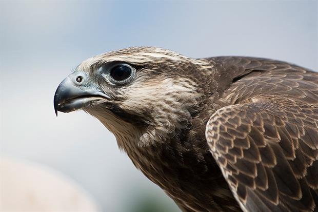 Scottish Natural Heritage has issued its first wild hacking licence for gyrfalcons. Photograph: Gail Shotlander/Getty Images