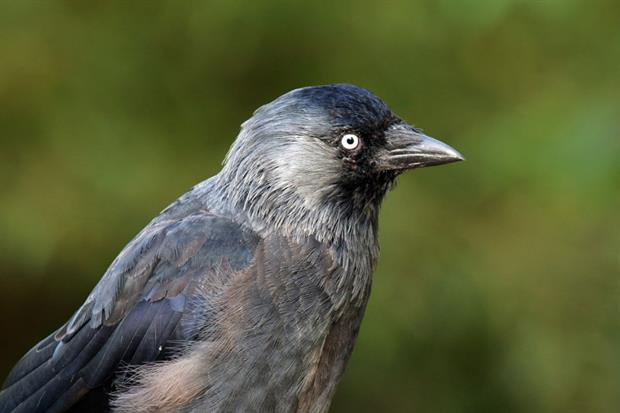 Natural Resources Wales have been threatened with legal action over general licences covering jackdaws. Photograph: Charles J Sharp / Wikimedia Commons