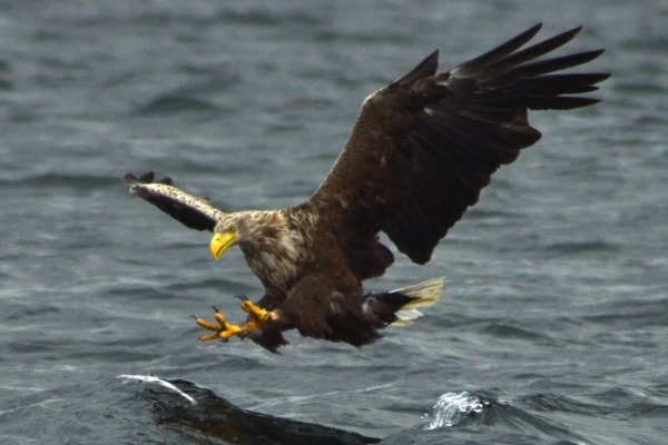 Sea eagle off the Isle of Mull