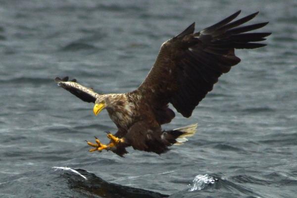 Sea eagle off the Isle of Mull