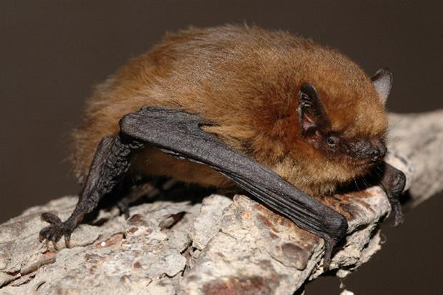 Bellway Homes unlawfully destroyed a roost of soprano pipistrelle bats. Photograph: Evgeniy Yakhontov / Wikimedia Commons