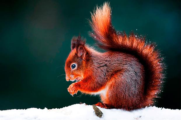 The red squirrel has lost much of its terrain to its grey cousin. Photograph: Westend61/Getty Images
