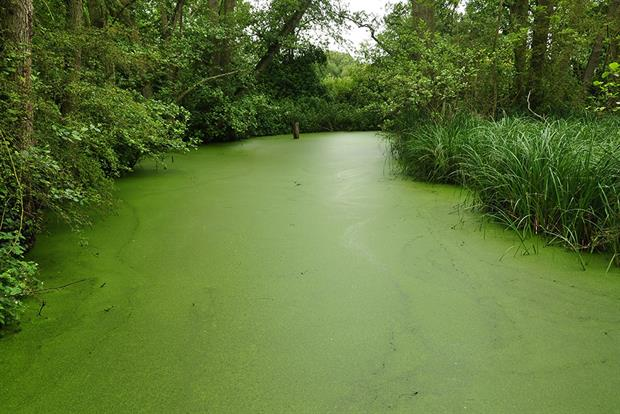 A duckweed-covered channel in Stodmarsh National Nature Reserve. Natural England is worried that excess nitrates are encouraging algae matts in the Stodmarsh area that are killing aquatic wildlife in a process known as hyper-eutrophication