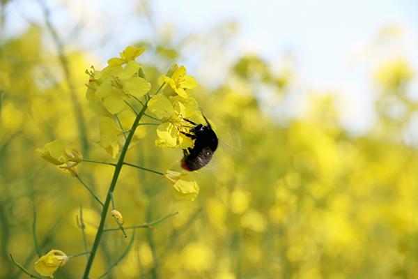 Bee pollinating a rapeseed flower